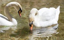 Dos cisnes en nadada del amor en el lago Fotos de archivo