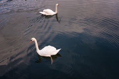 Dos cisnes están nadando en el lago de Hallstatt, Austria Imagen de archivo