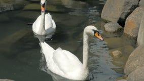 Dos cisnes están nadando en un pequeño lago en parque almacen de metraje de vídeo