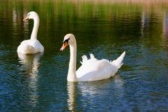 Dos cisnes hermosos en el lago Foto de archivo libre de regalías