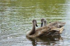 Dos cisnes jovenes en el lago Fotografía de archivo libre de regalías
