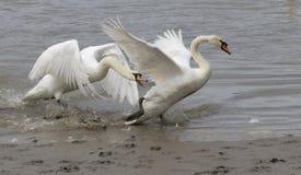 Dos cisnes macho que luchan imagen de archivo