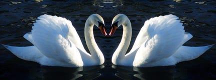 Dos cisnes mudos enfrente de uno a Foto de archivo libre de regalías