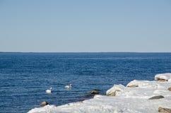 Cisnes mudos en primavera temprana Fotos de archivo