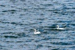 Dos cisnes mudos que nadan en Draycote riegan, Reino Unido fotografía de archivo