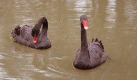 Dos cisnes negros en la charca Foto de archivo