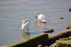 Dos cisnes preening imagenes de archivo