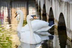 Dos cisnes que flotan en el agua imágenes de archivo libres de regalías