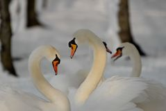 Dos cisnes que forman un corazón con sus cuellos foto de archivo