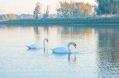 Dos cisnes que nadan en un lago en el amanecer imagen de archivo