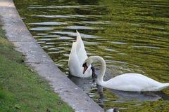Dos cisnes, uno bajaron su cabeza profundamente en el agua foto de archivo