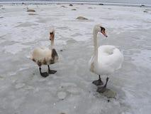 Dos cisnes, uno se cubren con petróleo Foto de archivo libre de regalías