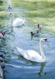 Dos cisnes y patos blancos en una charca Imágenes de archivo libres de regalías