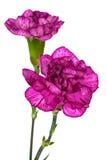Dos claveles púrpuras Imagenes de archivo