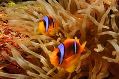Dos clowfish Foto de archivo