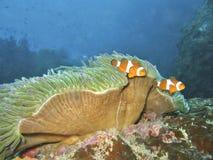 Dos Clownfish Fotografía de archivo libre de regalías
