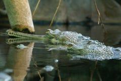 Dos cocodrilos Imagenes de archivo