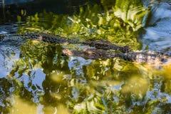 Dos cocodrilos del agua salada en agua Imágenes de archivo libres de regalías