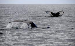 Dos colas de las ballenas en el océano Imágenes de archivo libres de regalías