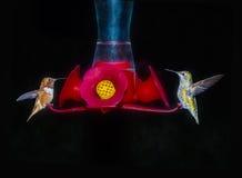 Dos colibríes que alimentan en la noche en el alimentador del néctar Foto de archivo libre de regalías