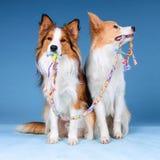Dos collies y juguetes de frontera Fotografía de archivo