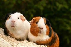 Dos conejillos de Indias Fotos de archivo libres de regalías