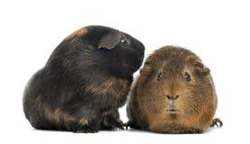 Dos conejillos de Indias, aislados Fotos de archivo libres de regalías