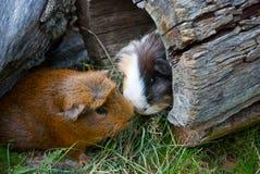 Dos conejillos de Indias encontrados Imagenes de archivo