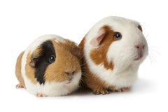 Dos conejillos de Indias lindos foto de archivo libre de regalías