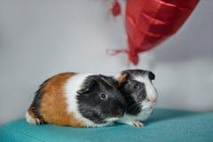 Dos conejillos de Indias lindos en amor con los corazones rojos hinchan Fotografía de archivo