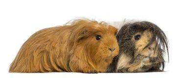 Dos conejillos de Indias - porcellus de Cavia, mintiendo Foto de archivo libre de regalías