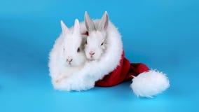 Dos conejitos divertidos que toman el sol en el sombrero de Santa Claus almacen de metraje de vídeo