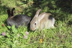 Dos conejos Fotografía de archivo libre de regalías