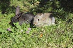 Dos conejos Imagen de archivo libre de regalías