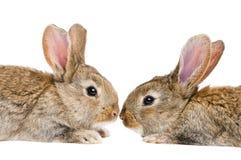 Dos conejos aislados cara a cara Foto de archivo libre de regalías