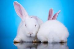Dos conejos blancos en la posición divertida imagen de archivo libre de regalías