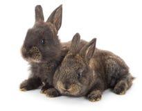 Dos conejos grises Imagenes de archivo