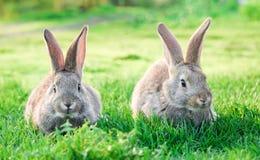 Dos conejos grises en la hierba verde al aire libre foto de archivo