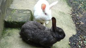 Dos conejos me están mirando el tomar de imágenes foto de archivo libre de regalías