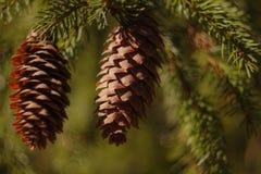 Dos conos del pino con el bokeh hermoso Fotos de archivo