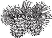 Dos conos del pino con las agujas Fotos de archivo libres de regalías
