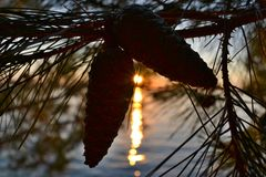 Dos conos marrones que cuelgan en un árbol de pino foto de archivo libre de regalías