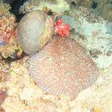 Dos corales de cerebro fotografía de archivo
