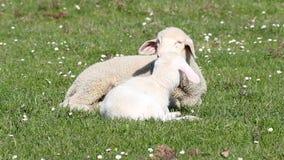 Dos corderos blancos almacen de metraje de vídeo