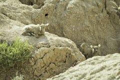 Dos corderos de las ovejas de Bighorn Imágenes de archivo libres de regalías