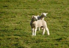 Dos corderos en un campo fotos de archivo