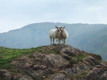 Dos corderos en una loma Fotos de archivo libres de regalías