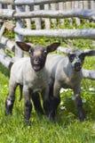 Dos corderos inquisitivos Fotografía de archivo