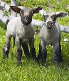 Dos corderos inquisitivos Foto de archivo