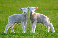 Dos corderos lindos imagen de archivo libre de regalías